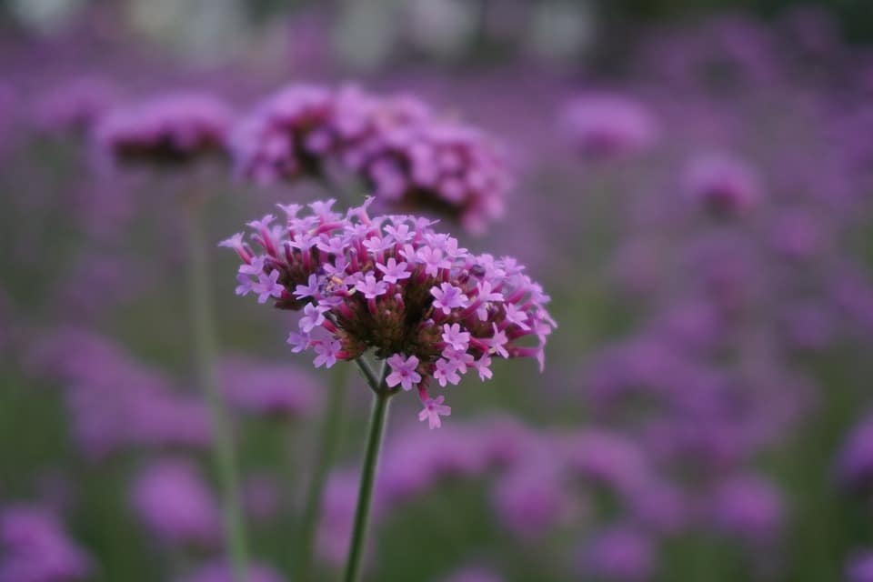 62 purple flower types with pictures flowerglossary verbena is a beautiful plant that produces small purple blooms all summer long the flowers are traditionally used in floral arrangements this flower is mightylinksfo