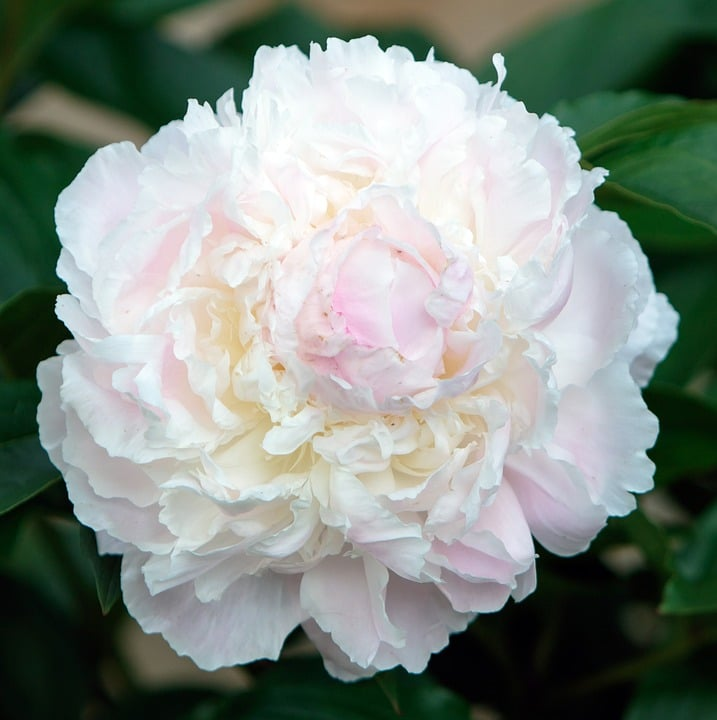 A Flowering Bush Which Has Large Double Blooms And Comes In Many Colors These Do Best Climates With Little Wind