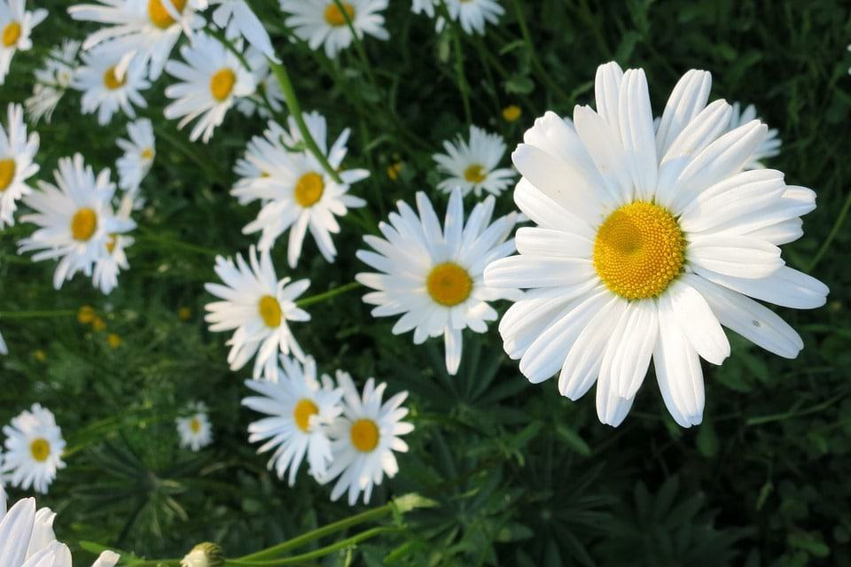 45 types of white flowers with pictures flowerglossary unlike its cousin the gerbera daisy this one only comes in white and is quite dainty they grow on a leafless stem which makes them the main attraction mightylinksfo