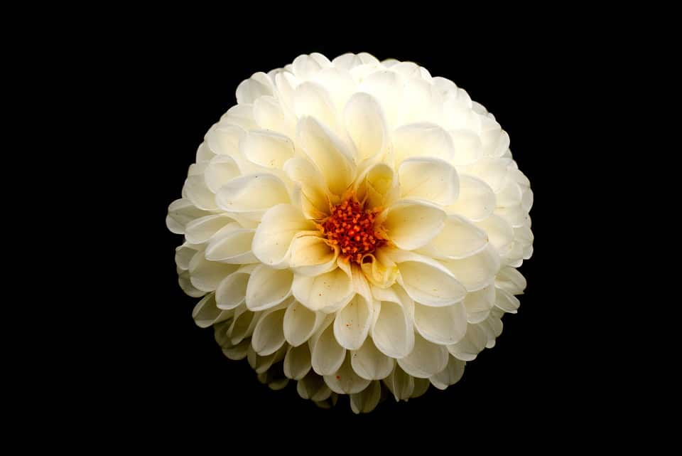 45 types of white flowers with pictures flowerglossary flowers are planted in the spring after the last frost for a summer display of large multi petaled blooms they come in various colors including white mightylinksfo