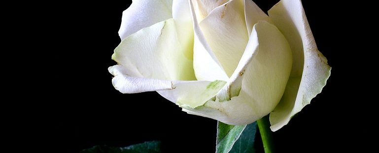 History And Meaning Of White Roses Flowerglossary