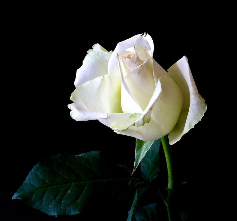 Rose color meanings with pictures flowerglossary as far back as greek mythology white roses have been a symbol of innocence purity spirituality and reverence legend has it that white roses were created mightylinksfo