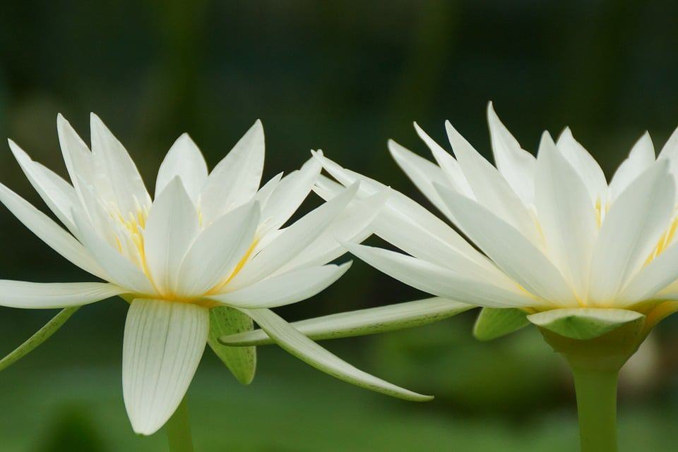 45 types of white flowers with pictures flowerglossary if you have a small pond or even a pool of water that you dont swim in these are a perfect choice for expanding your garden mightylinksfo