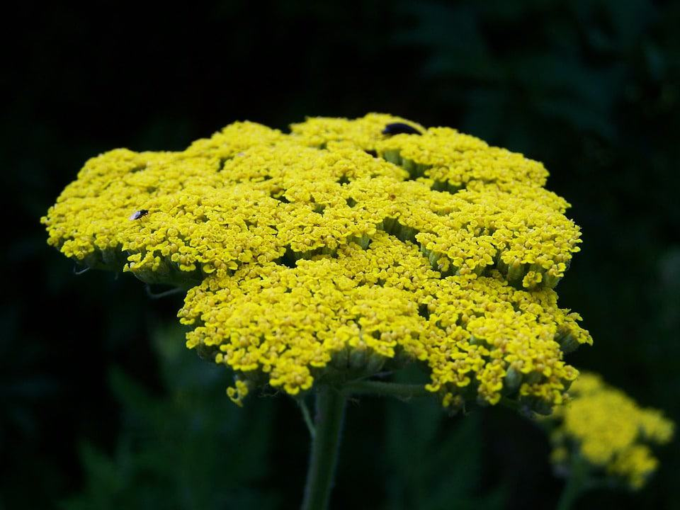 30 types of yellow flowers with pictures flowerglossary yarrow produce clusters of yellow white salmon pink or red flowers atop long stems their airy grayish green foliage is attractive as well mightylinksfo