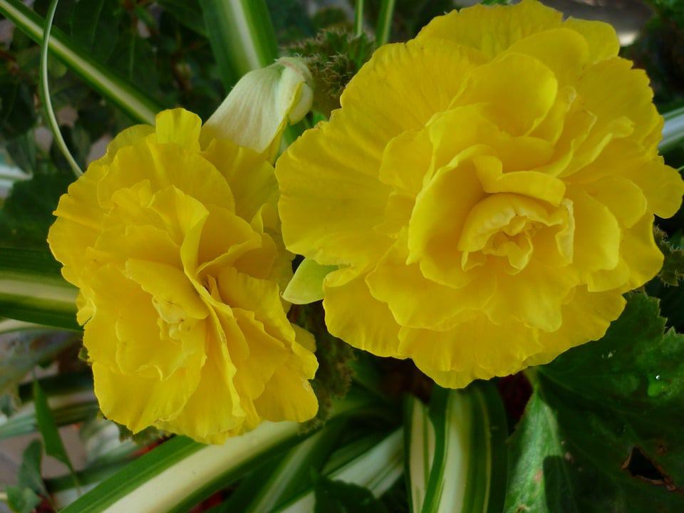 30 types of yellow flowers with pictures flowerglossary a flowering bush which has large double blooms and comes in many colors these do best in climates with little wind mightylinksfo
