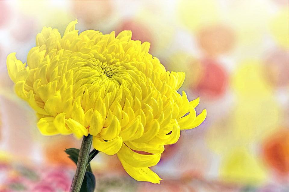 30 types of yellow flowers with pictures flowerglossary also known as mums they are generally grown as annuals in cold climates these plants may produce dime size pom poms to huge daisy like blooms mightylinksfo