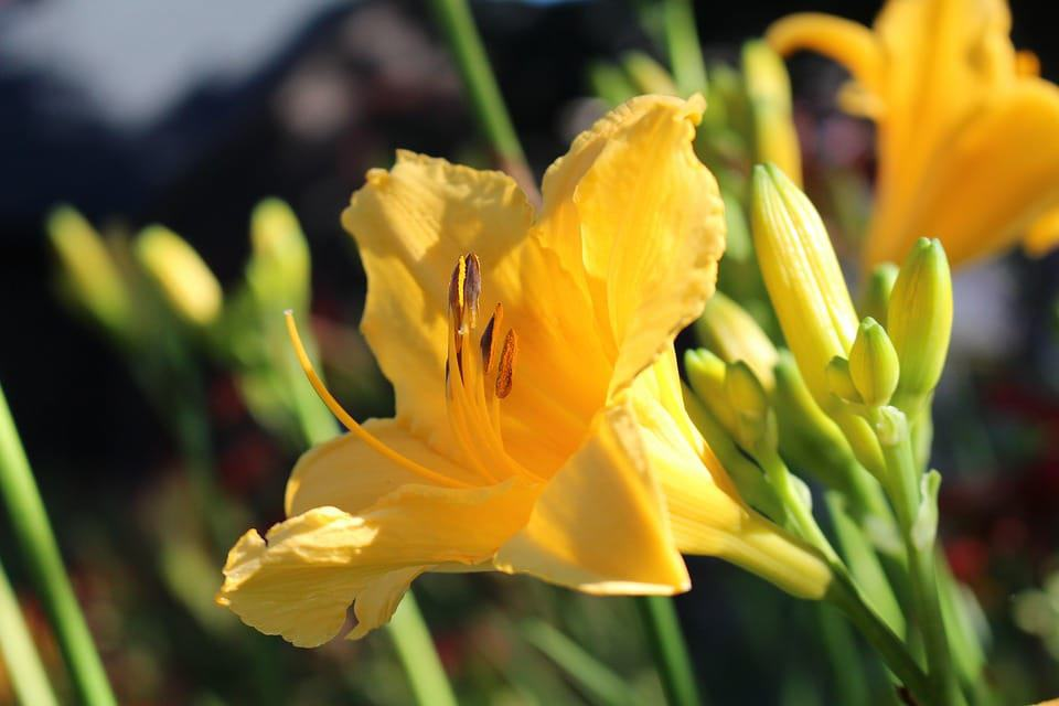 30 types of yellow flowers with pictures flowerglossary yellow lily mightylinksfo
