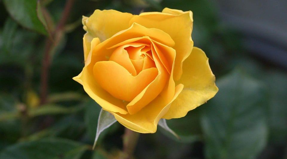 30 types of yellow flowers with pictures flowerglossary yellow rose mightylinksfo