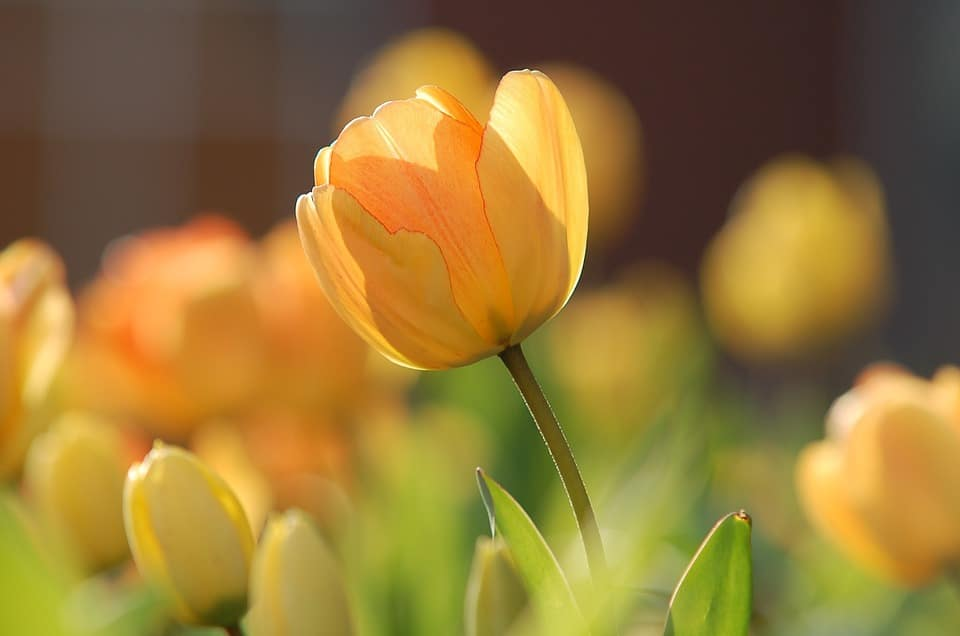 30 types of yellow flowers with pictures flowerglossary yellow tulip mightylinksfo