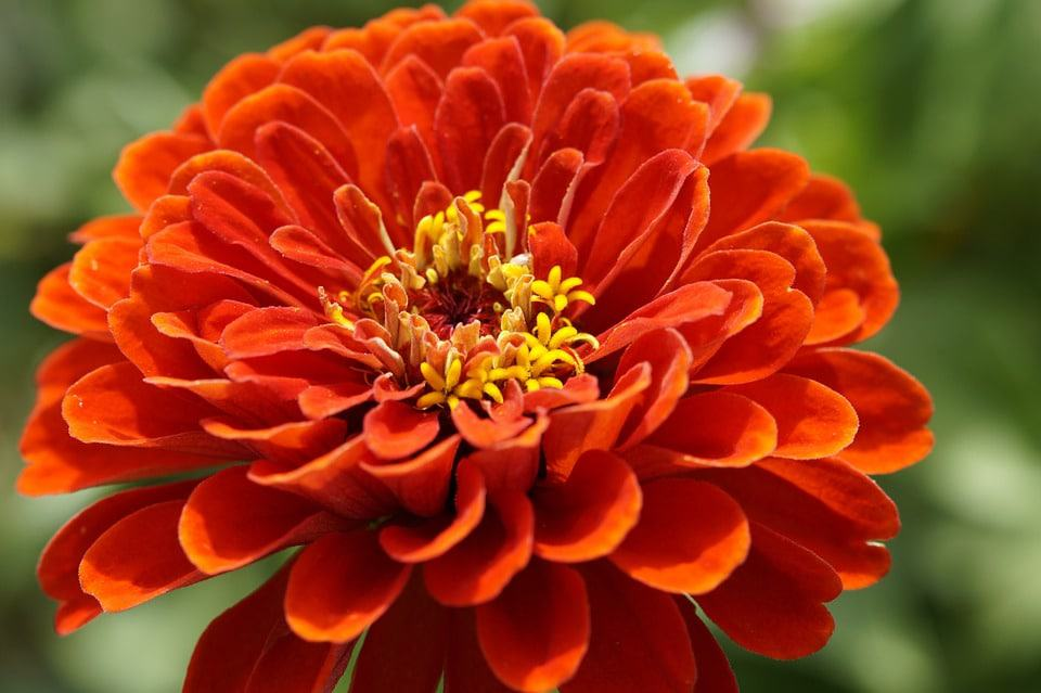A Packet Of Zinnia Seeds Will Fill An Area With Gorgeous Flowers In Amazing Array Shapes And Colors Even Green It Hen Just Weeks