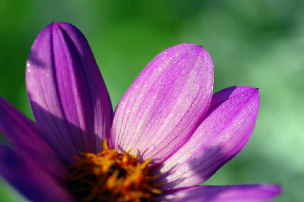 62 purple flower types with pictures flowerglossary a very easy to grow plant they grow quickly and produce a lot of blooms zinnia flowers come in all sorts of colors and will provide the pop of color all mightylinksfo