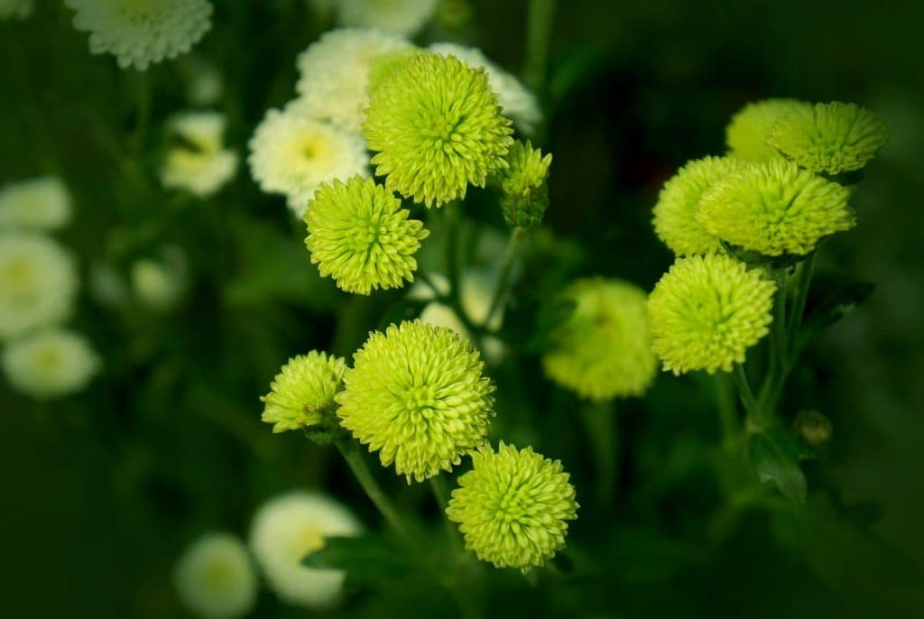 19 Types Of Green Flowers Pictures Flowerglossary Com