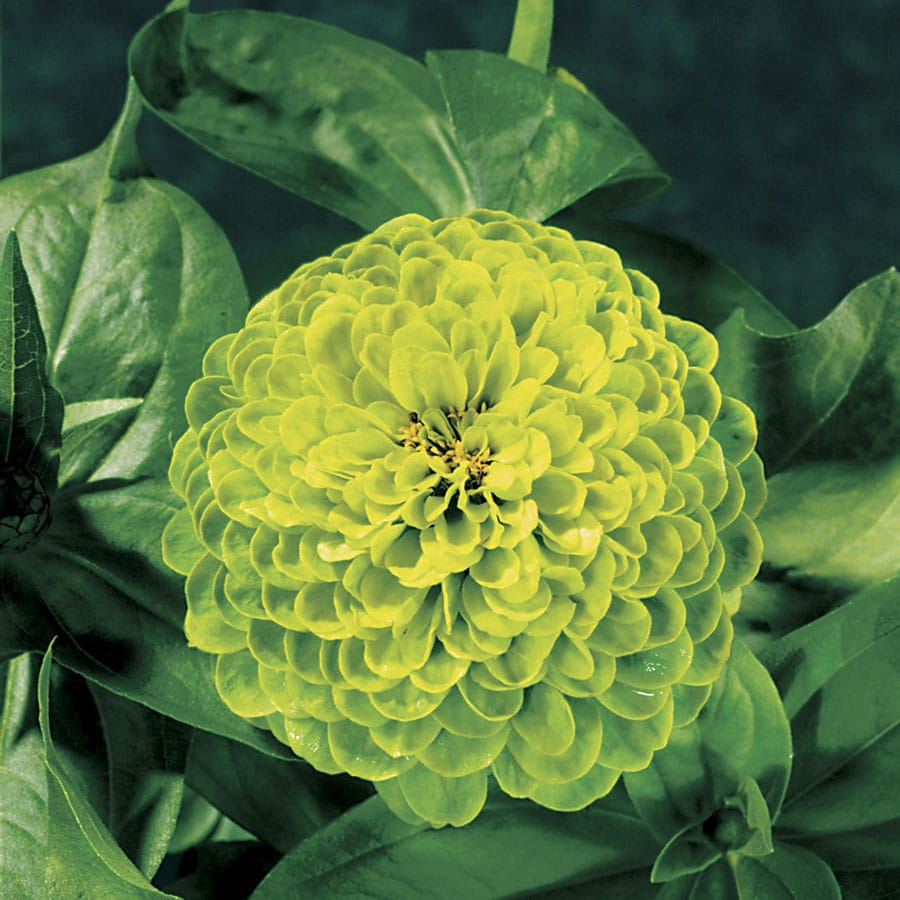 19 types of green flowers pictures flowerglossary the green zinnia is a common annual that is easy to grow and are low maintenance they cannot be crowded when planted as they will suffer from mildew izmirmasajfo