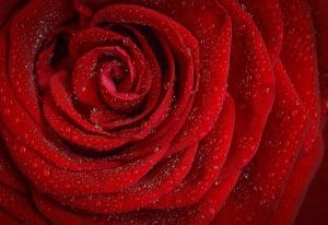 history meaning red roses