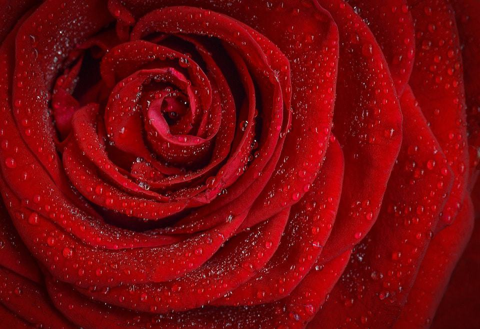 History and meaning of red roses flowerglossary mightylinksfo