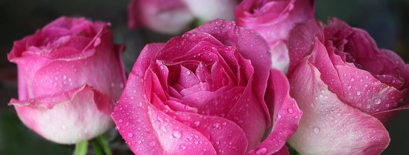 The history meaning of pink roses of all shades flowerglossary history and meaning of pink roses mightylinksfo