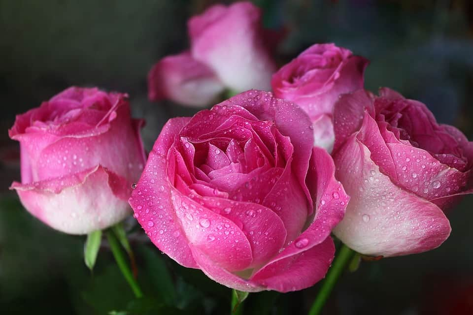 The history meaning of pink roses of all shades flowerglossary mightylinksfo