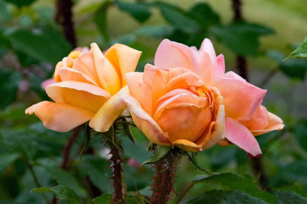 Moss Roses Are A Very Tough Plant Which Can Withstand The Hottest Weather Conditions Their Leaves Succulent Like When Planted In Containers Blooms
