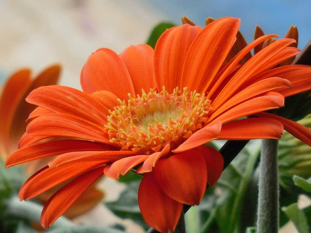 22 types of orange flowers pictures flowerglossary gerbera daisies are the king of cut flowers with a vase life of up to 10 days they are most often grown in containers as they have large flowers and izmirmasajfo