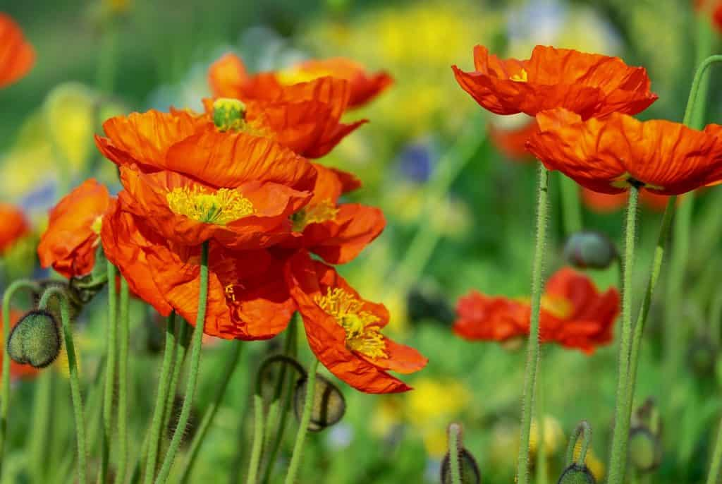 22 Types of Orange Flowers + Pictures | FlowerGlossary.com