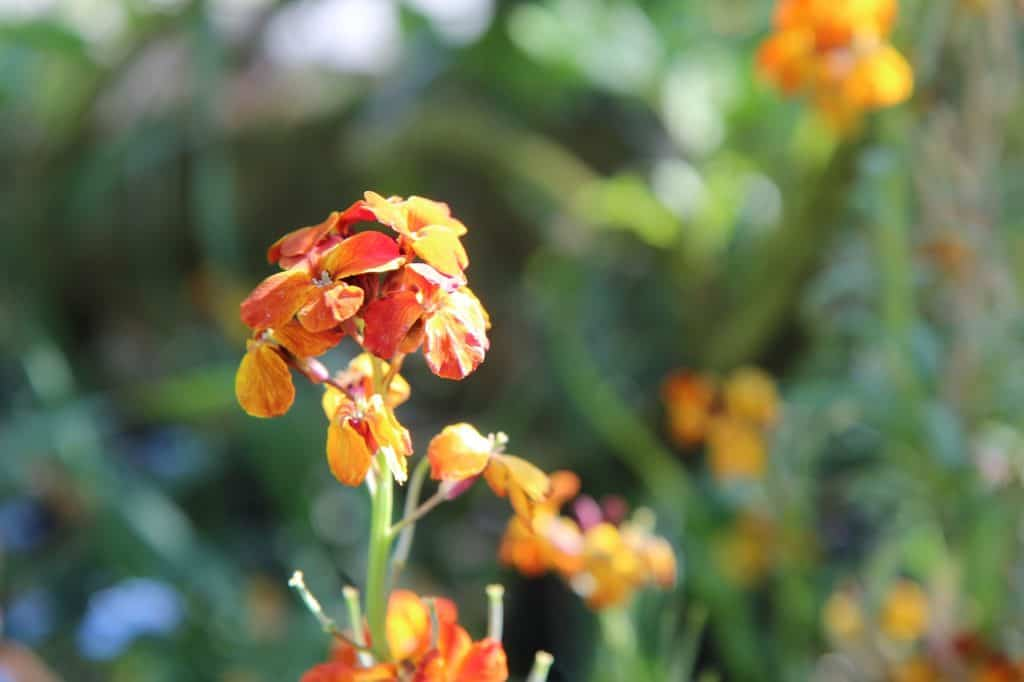 There Is A Variety Of Color Changing Wallflower Which Will Bloom As Orange And Then Fade To Shade Pink Or Deep Purple