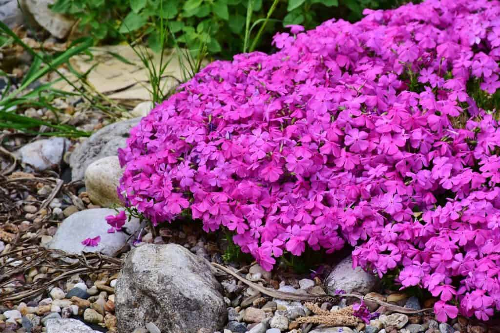 These Small Dense Flowers Are Great For Use As Ground Cover On A Hillside Or Area You Would Like To Border