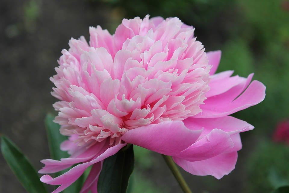 21 Types of Pink Flowers + Pictures