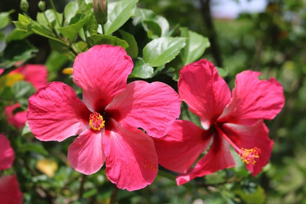 Hibiscus Are Very Large Flowers Which Can Grow 3 5 Feet Wide They Also High Typically Bloom In The Spring But May Be Slow To