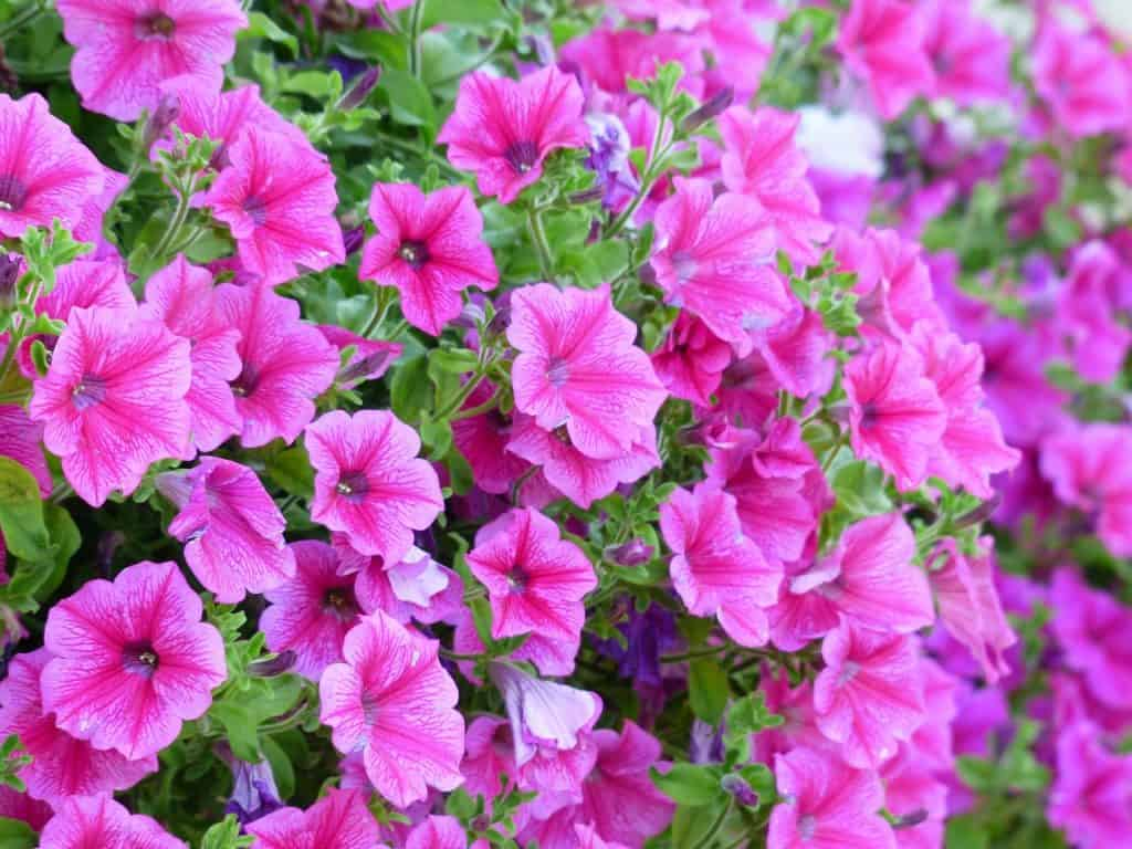 21 Types Of Pink Flowers Pictures Flowerglossary