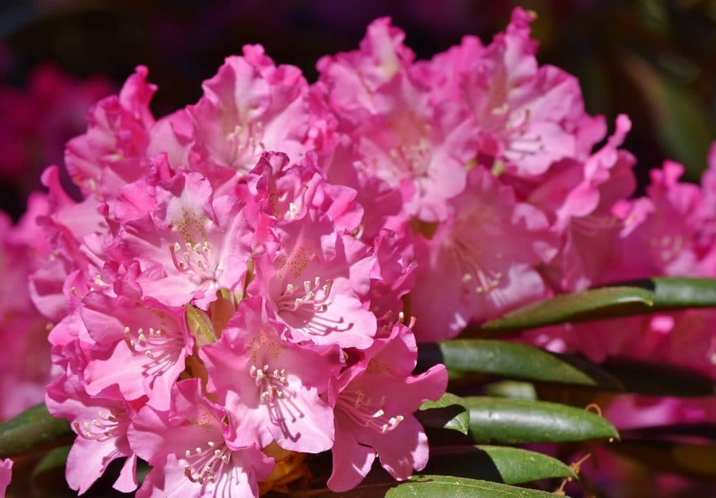 Pink Flowers 21 Types Pictures Flowerglossary Com