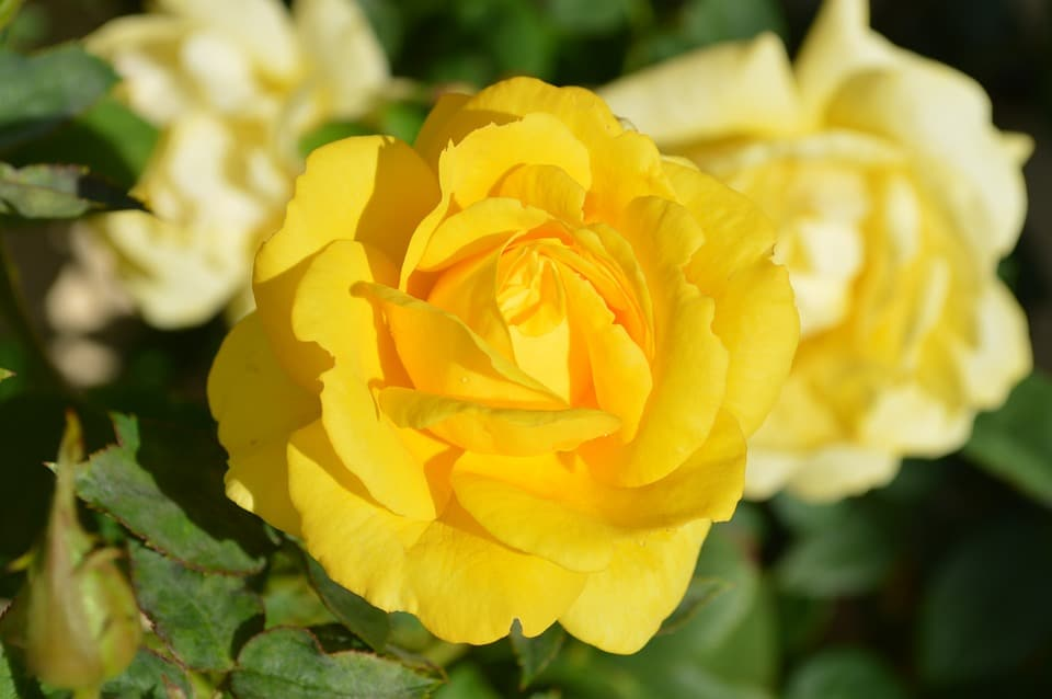 History and Meaning of Yellow Roses | Flower Glossary
