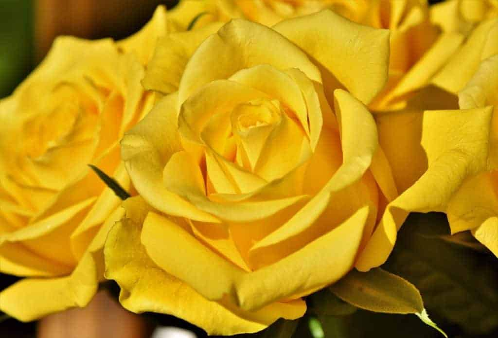 picture of yellow rose