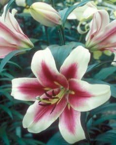 Altari Orienpet Lily
