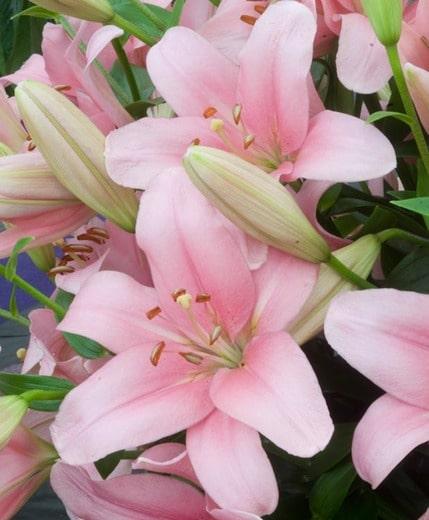 brindisi lilies