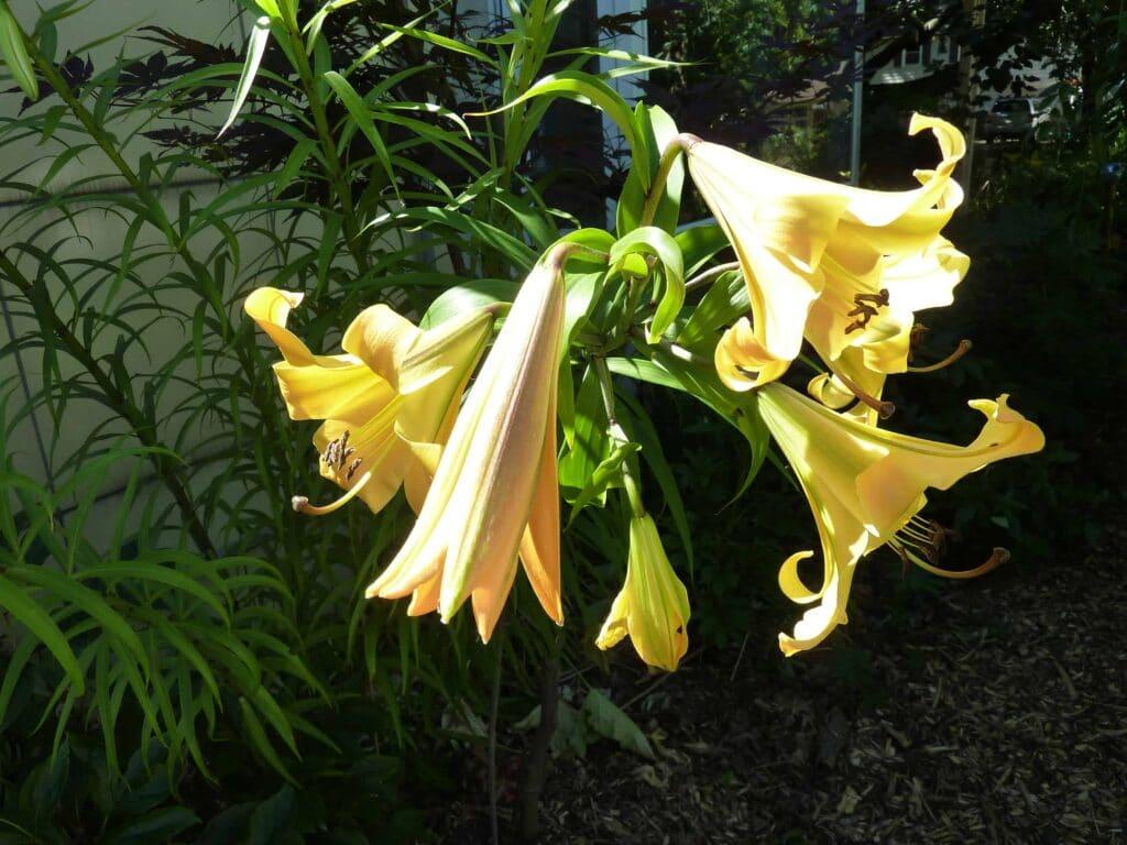golden splendor trumpet lilies