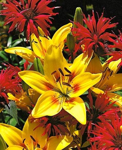 grand cru lilies