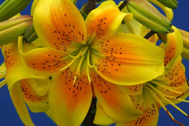 king pete asiatic lilies