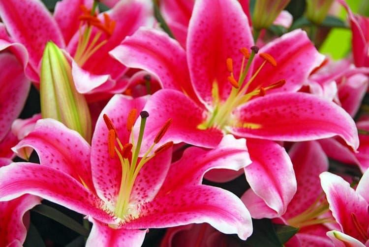 starlight express flowers