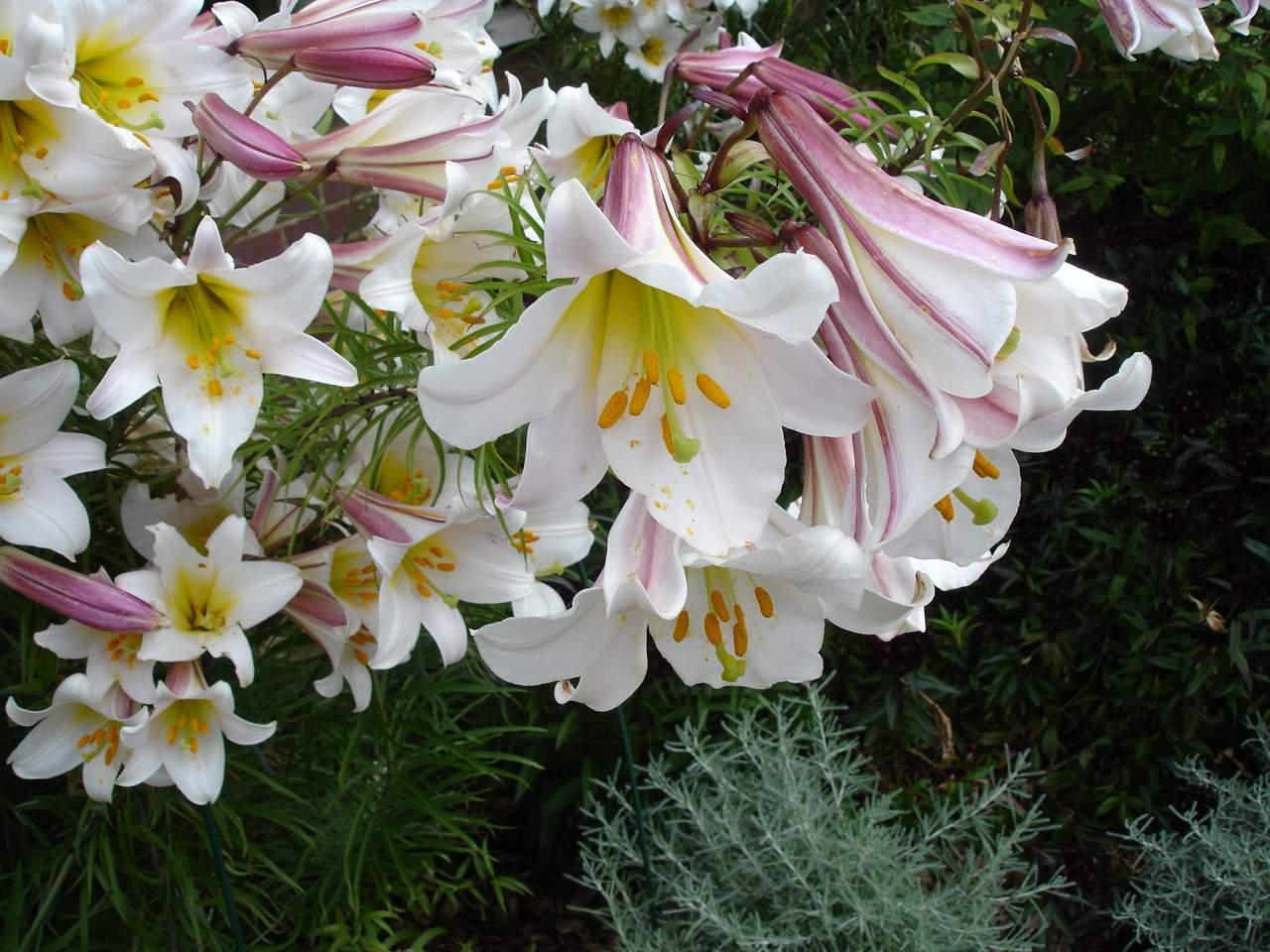 Regale - Trumpet Lily