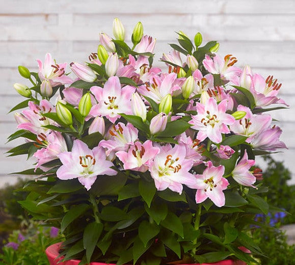 souvenir lilies