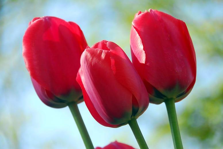 Tulip Acropolis