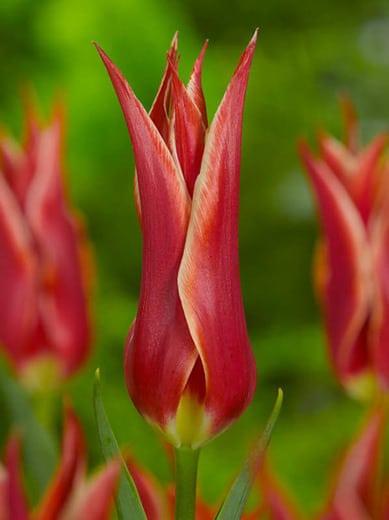 Tulip Alladin
