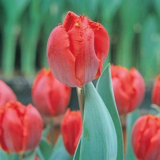 Tulip Arma