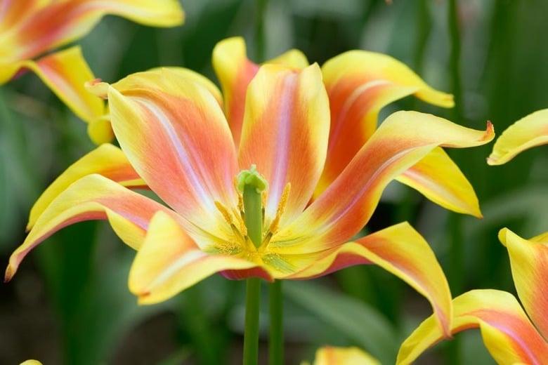 Tulip Ballade Dream