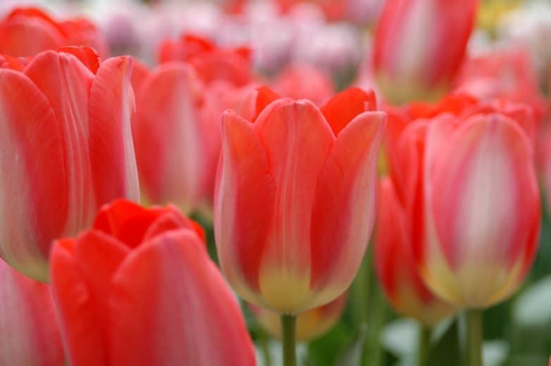 Tulip Big Chief