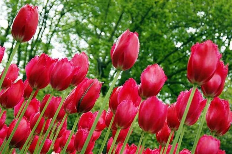 Tulip Burgundy Lace