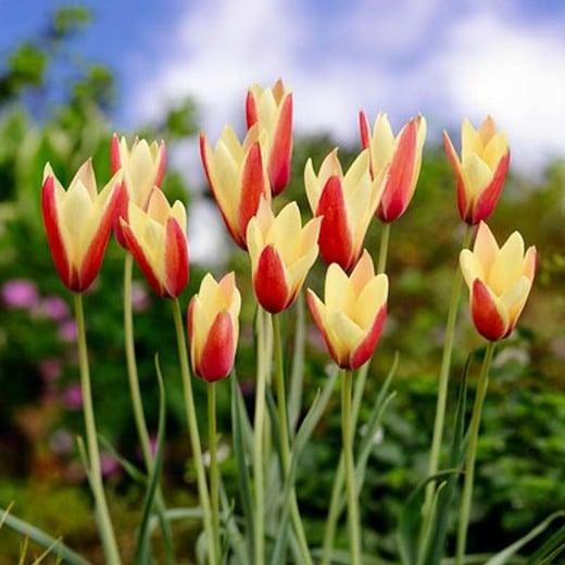 Tulip Clusiana Chrysantha Tubergens Gem