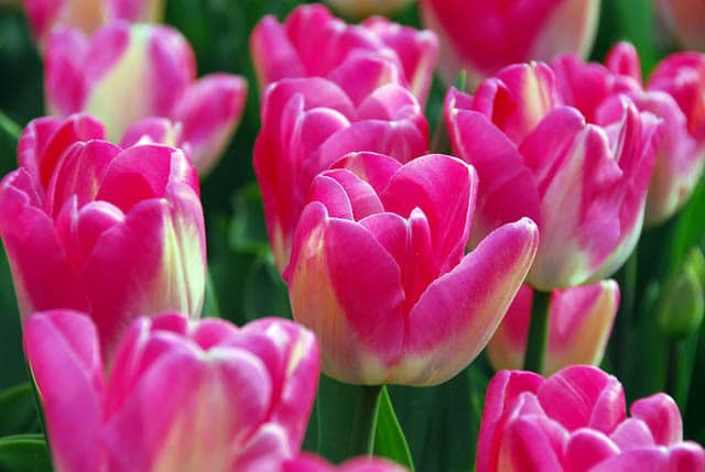Tulip Dreamland
