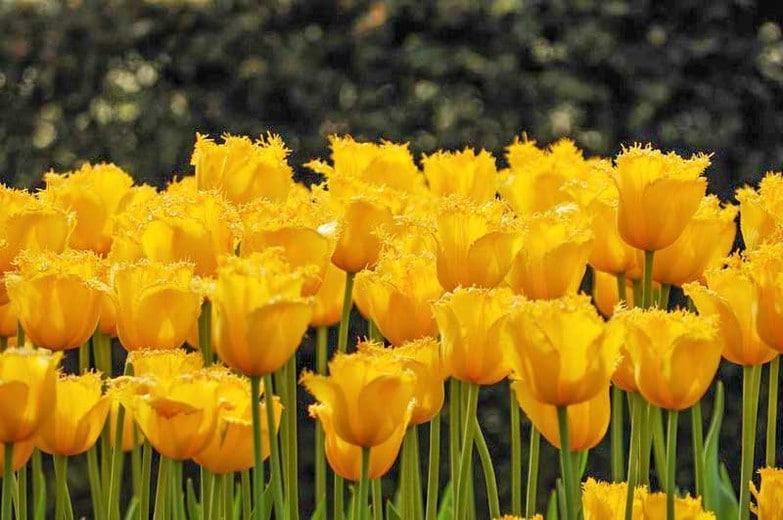 Tulip Hamilton
