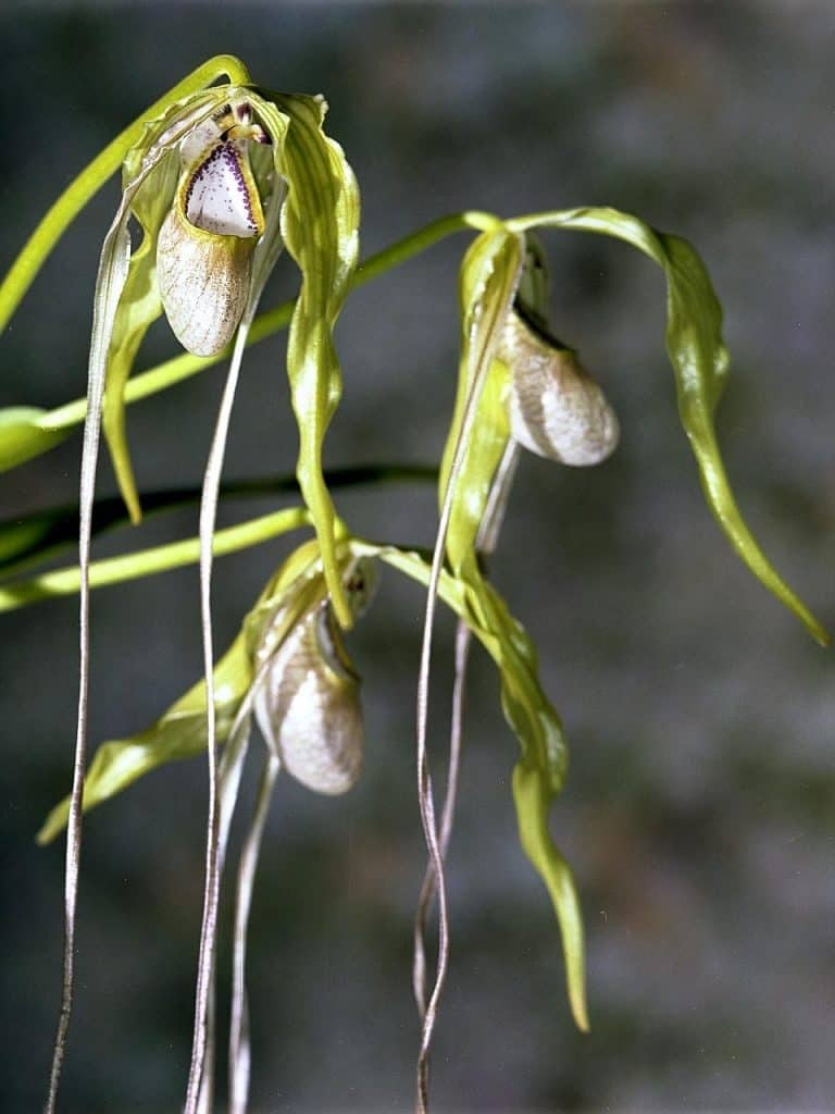 Phragmipedium orchids